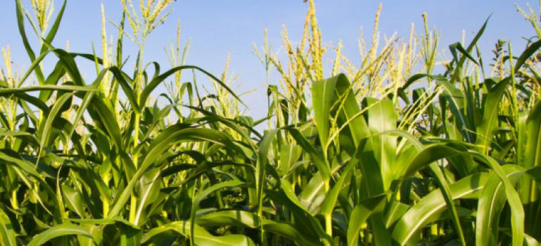GMO | European Food Safety Authority