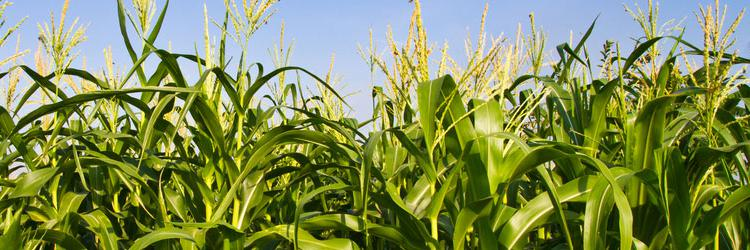 how do gmos increase food production