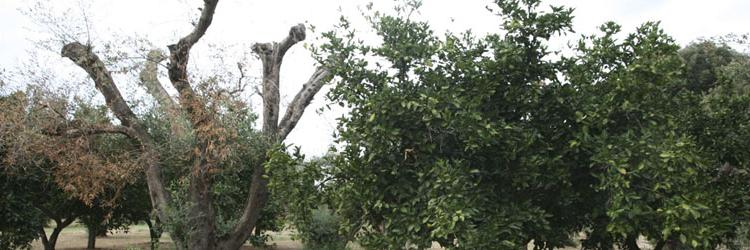 Calendario Trattamenti Olivo Puglia.Xylella Fastidiosa Autorita Europea Per La Sicurezza