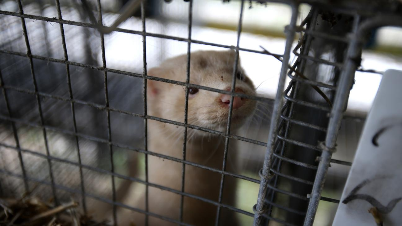 mink in a cage